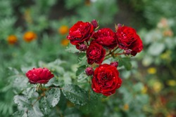 red flowers roses in the garden after the rain