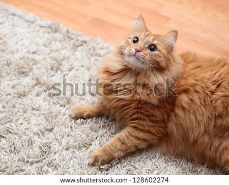 red fluffy cat is on carpet, looking up
