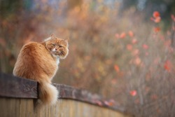 Red fluffy cat laying on the wooden fence in autumn day. Adorable bokeh with red leaves. Cottagecore aesthetics concept. Copy space