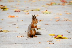 Red fluffy squirrel sitting on the road with a nut in his mouth. Paving slabs with yellow dry leaves. Image with noise effects.