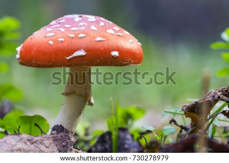 Red fly agaric mushroom or toadstool in the grass. Fairy tale colourful image. Toxic mushroom. White-dotted red mushroom #730278979