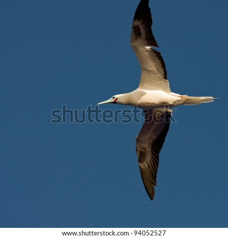 Red-footed booby flying on the blue sky.