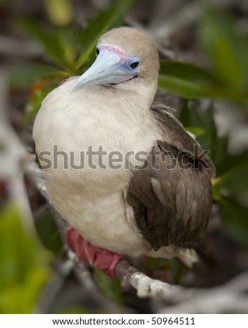 Red-Footed Booby on Branch