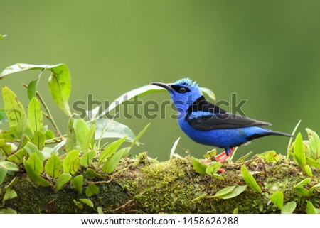 Red-footed Honeycreeper (Cyanerpes cyaneus) - Male