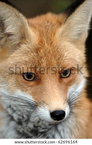 Red fox #62696164