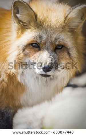 Red fox  #633877448