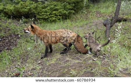 stock photo : Red Fox adult female and kit frolic in the forest. The fur