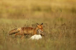 Red Fox after hunting with prey, Vulpes vulpes, wildlife scene from Europe.  Fox with prey on  summer meadow during sunset