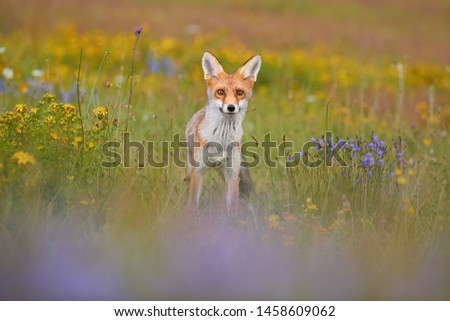 Red Fox among blue and yellow blossoms. Close up, lovely Red Fox cub, Vulpes vulpes at european flowering  highland meadow, staring at camera. Low angle photo. Spring nature of Czech republic.