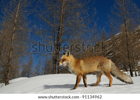 Red fox and alpine habitat. Aosta valley, Italy.