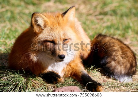 Red Fox and Arctic Fox #755098603