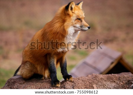 Red Fox and Arctic Fox #755098612