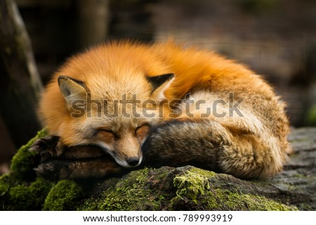 Red Fox Animal #789993919