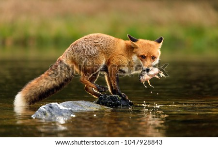 Red fox at the small pond