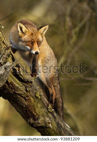 Red fox climbing into a treee