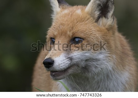 red fox close up portrait of head while walking in long grass and against background #747743326