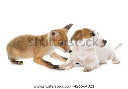 red fox cub and dog in front of white background #426664021