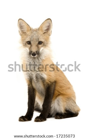 Red fox cub isolated on a white background