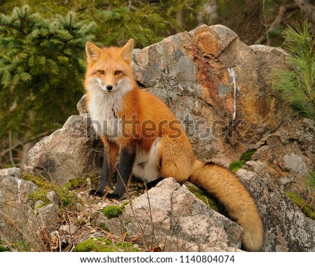 Red fox enjoying its environment.