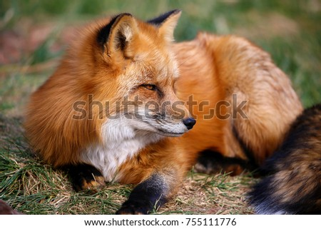 Red Fox Fennec Fox #755111776