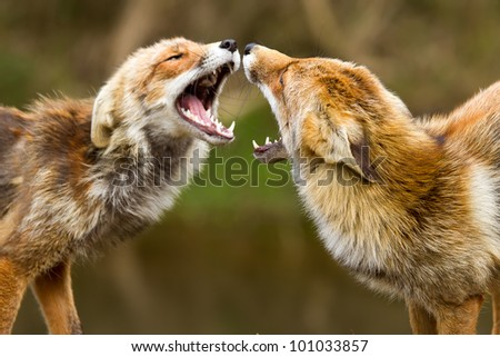 Red fox fighting
