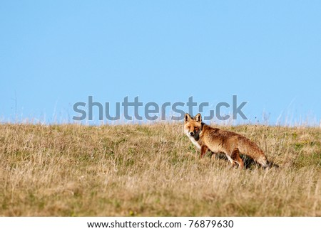 Red fox hunting in high mountain grass field