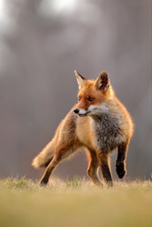 Red Fox hunting, Vulpes vulpes, wildlife scene from Europe. Orange fur coat animal in the nature habitat. Fox on the green forest meadow.
