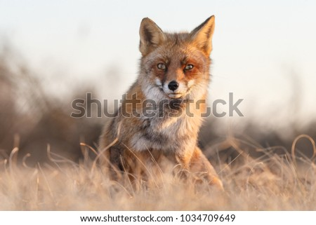 Red fox in a nice sun light during wintertime