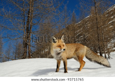 Red fox in its alpine habitat. Aosta valley, Italy.
