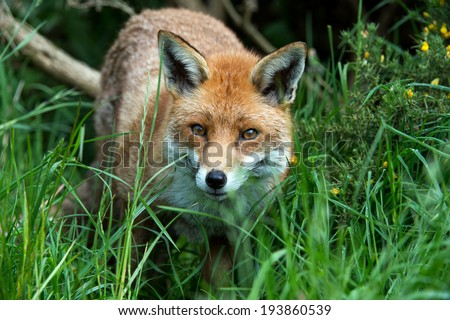 Red Fox in long green grass at the edge of a forest/Red Fox/Red Fox (vulpes vulpes)