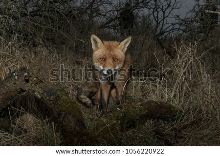 Portrait red fox on dark background Images and Stock Photos