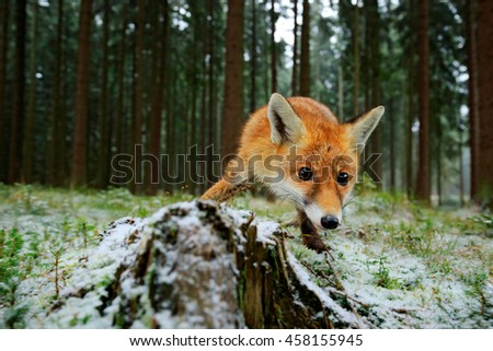 Stock Photo Red fox in the nature forest habitat wide angle lens picture. Animal with tree trunk with first snow. Vulpes vulpes, in green forest during winter.