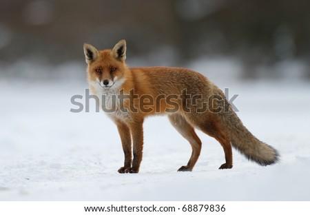 Red fox фото