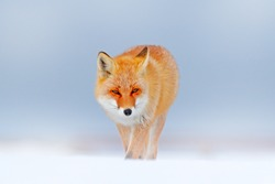Red fox in white snow. Cold winter with orange furry fox. Hunting animal in the snowy meadow, Japan. Beautiful orange coat animal in nature.