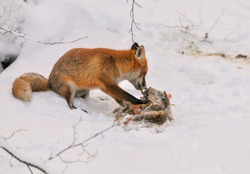 red fox in winter feeding on deer carcass, cute red fox with roe deer carcass in winter landscape