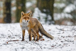 Red fox in winter. Portrait of red fox, Vulpes vulpes, standing in winter forest in snowfall. Cute orange fur coat animal with fluffy tail in nature. Predator ferrets about prey. Clever beast.