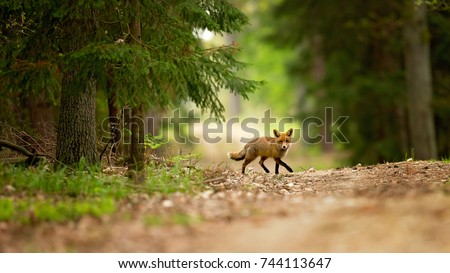 Red fox is largest of the true foxes, has the greatest geographic range of all members. Red foxes are usually together in pairs or small groups consisting of families.