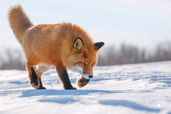 Red Fox is walking on the snow-covered tundra. The wildlife of the Arctic. Wild Fox in its natural habitat. Cold frosty weather in the far North of Siberia. Nature of Chukotka and the Russian Far East