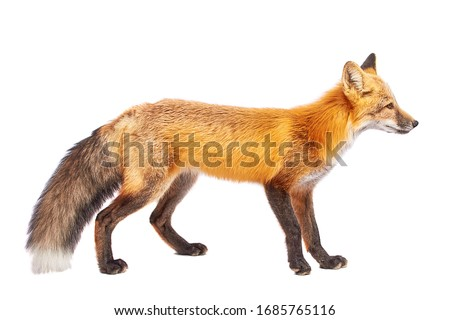 Red fox isolated on white background  Сток-фото ©