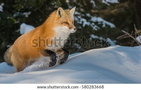 Red fox jumping in the snow. #580283668