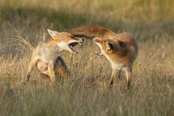Red fox juvenile fighting