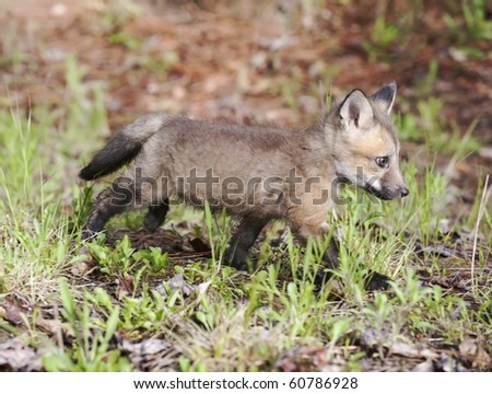 Red fox kit (juvenile) practices its stalking skills in the forest.  The kit's coat is just starting to display the characteristic red coloration.