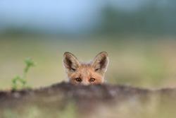 Red fox kit. Little fox peeking,