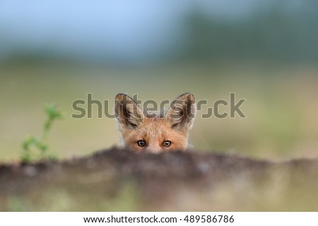 Red fox kit. Little fox peeking, #489586786