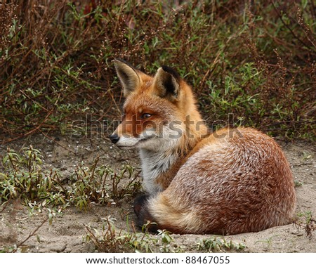 Red fox laying