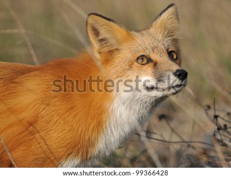 Red Fox looking at the Sky