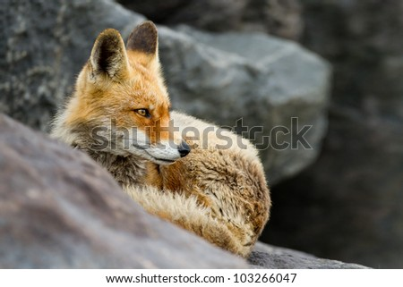 Red fox lying on black rocks