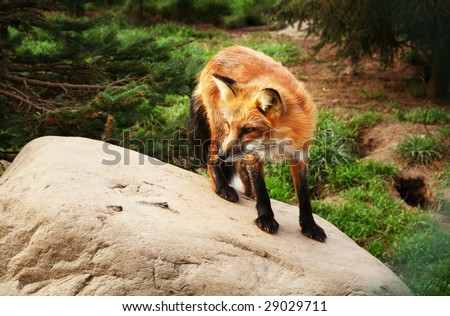 red fox outside on stone in park, canine furry wildlife