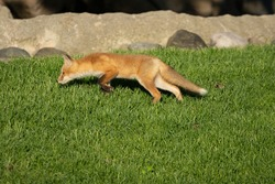 red fox pups explore the park on a sunny day