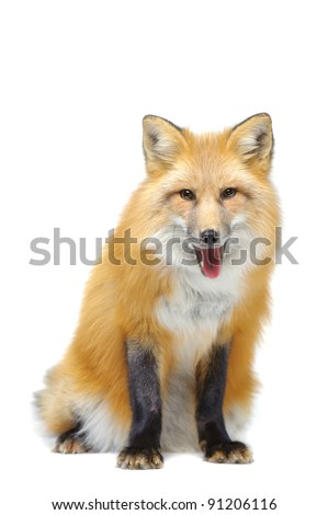 Red fox sitting isolated on white